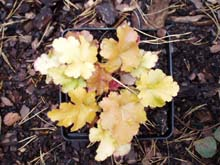 Żurawka 'Amber Waves' Heuchera