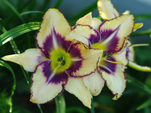 Liliowiec Destined to See Hemerocallis