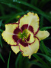 Hemerocallis 'Lady Betty Fretz'