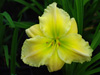Liliowiec Hemerocallis 'Tequila and Lime'