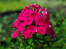 Phlox paniculata 'Grenadine Dream'