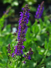 Salvia x sylvestris 'May Night'
