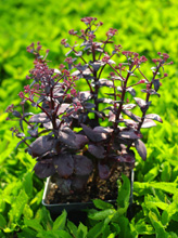 Sedum hybrida 'Black Beauty'