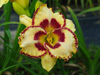 Liliowiec Hemerocallis 'Lady Betty Fretz'