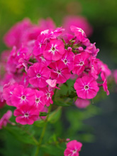 Phlox paniculata 'Pink Attraction'