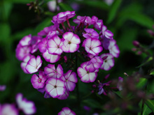 Phlox paniculata Sweet Summer TM Fantasy