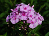 Phlox paniculata Sweet Summer TM Favourite