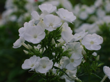 Phlox paniculata YOUNIQUE WHITE