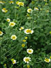 Anthemis tinctoria 'Sause Hollandaise'