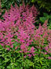 Astilbe chinensis 'Heart and Soul'