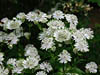 Astrantia major subsp.involucrata 'Shaggy'