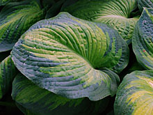 Hosta 'George Smith' (Funkia)