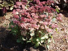 Sedum telephium 'Strawberries and Cream'