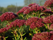 Sedum telephium 'Indian Chief'
