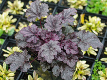 Żurawka 'Plum Pudding' Heuchera